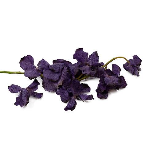 萬代蘭 (深紫)