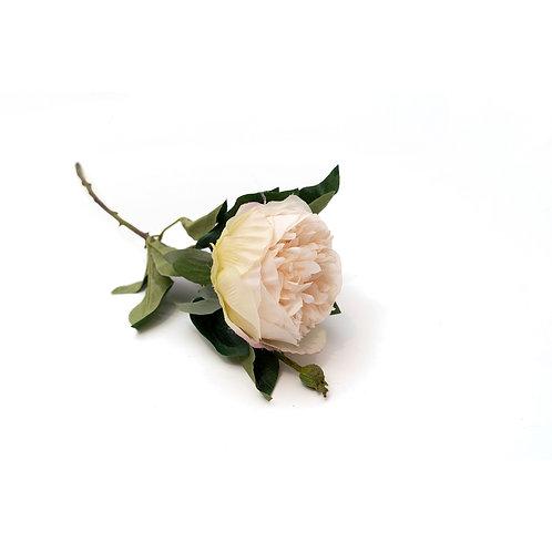玫瑰 (香檳)