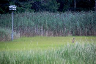 stock-photo-a-deer-in-the-brush-59394822.jpg