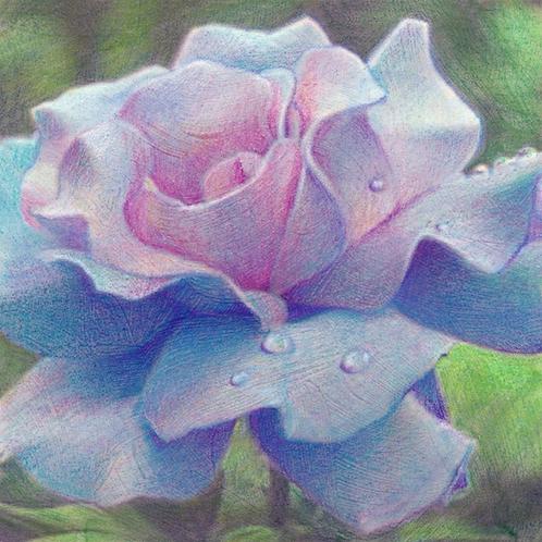 pink-blue rose