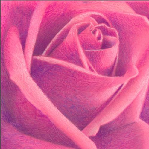 magenta rose
