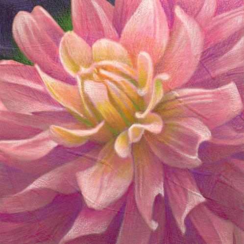 yellow pink dahlia