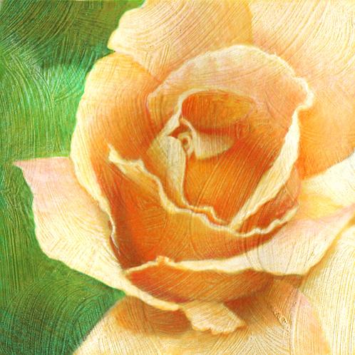light peach rose