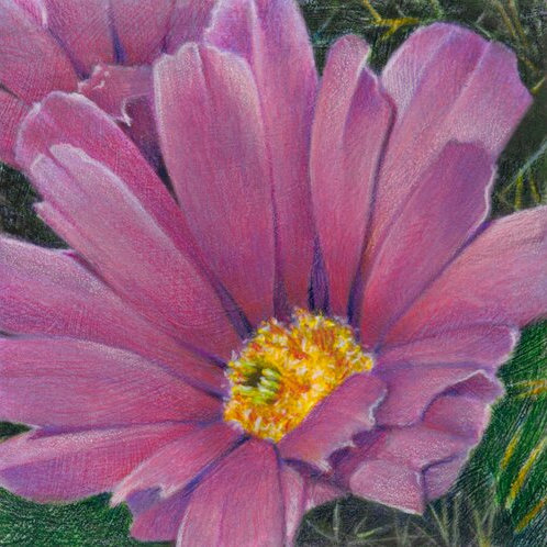 magenta cactus flower