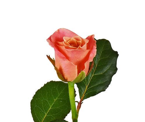 Rose Soft Salmon