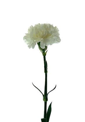 Dianthus White Liberty