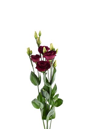 Eustoma Arosa Red