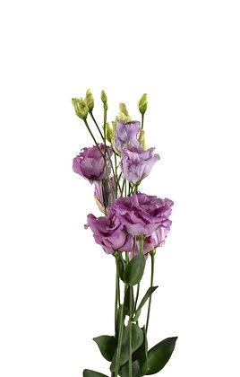 Eustoma Lavender Grape