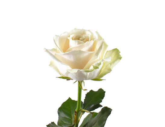 Rose White Dorchester