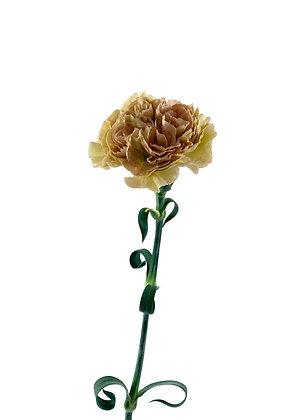 Dianthus Lege Marrone