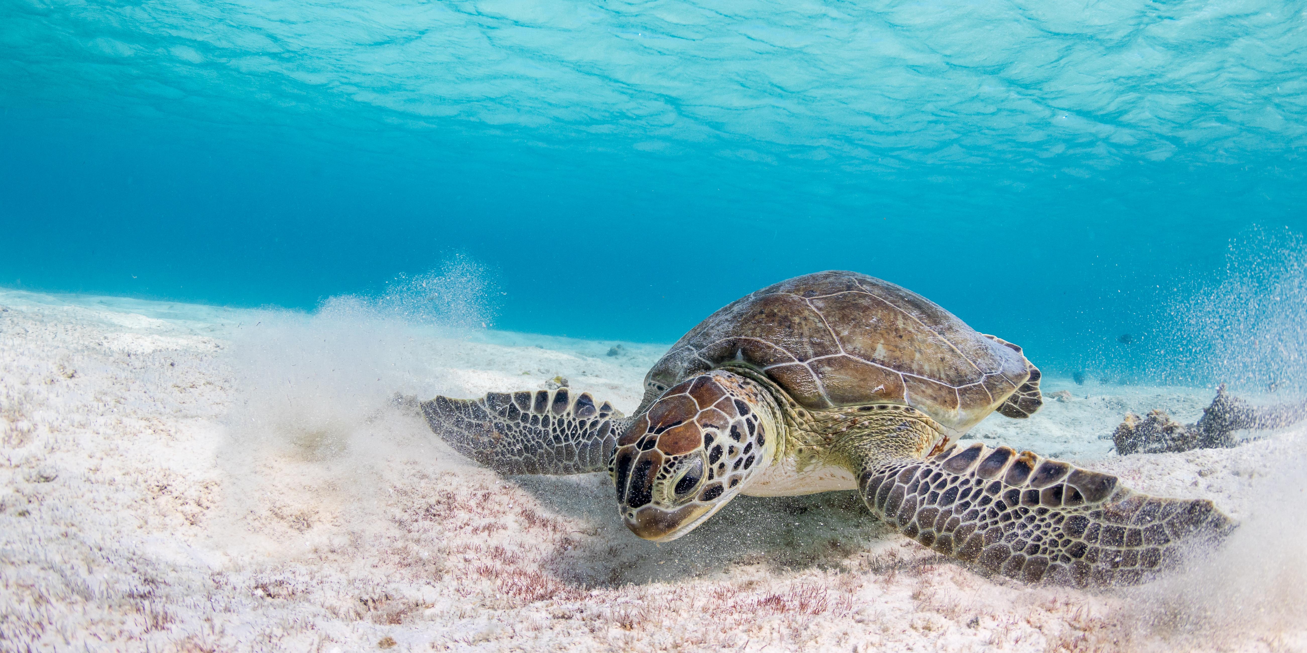 bonaire - turtle