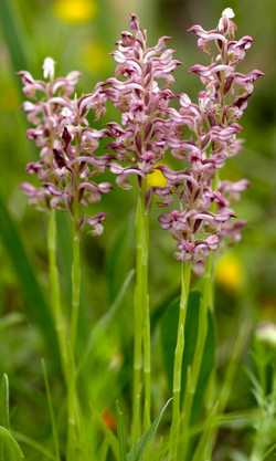 Orchis fragrans