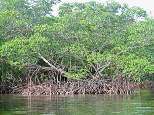 New genetics tool improves our ability to inform mangrove conservation and management
