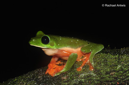 CABI Biocontrol News & Information on our frog microbiome research