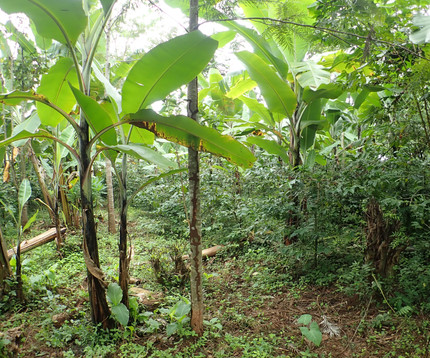 Ecosystem Services and Importance of Common Tree Species in Coffee-Agroforestry Systems