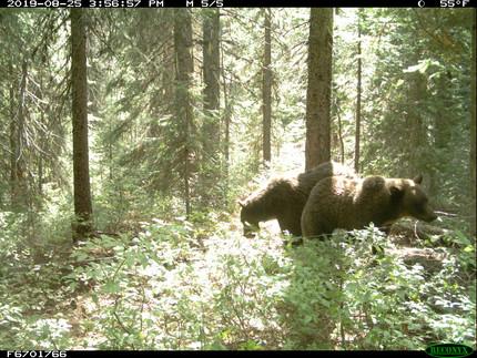 Grizzly bear hair samplingfor DNA analysis