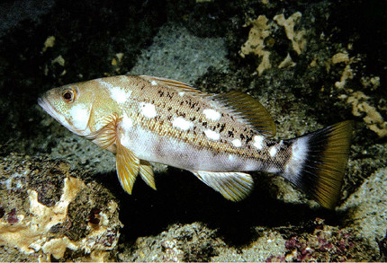 Reproductive biology of an endangered fish endemic to the Galápagos