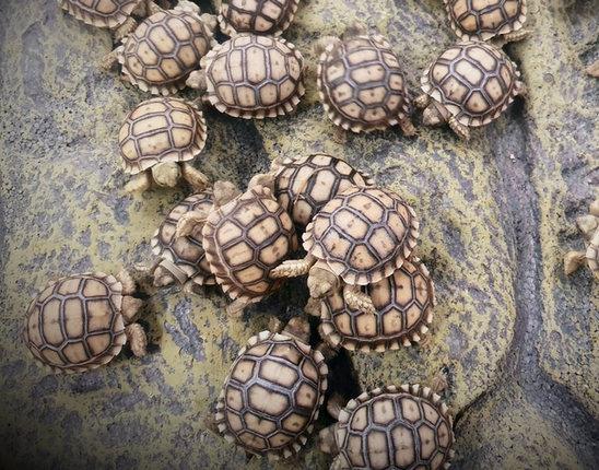 צבים דורבניים בייבי