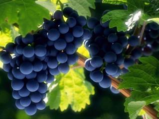В Україні за 7 років вдвічі скоротились площі під виноградом