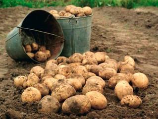 Зростання обсягів імпорту картоплі в Україну
