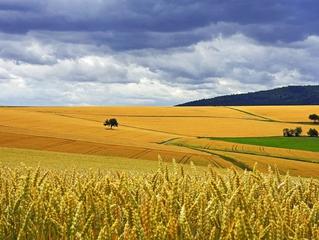 Україна збільшить посівні площі під пшеницею