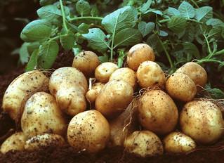 Ціна на картоплю обвалиться до півтори гривні за кілограм