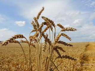 Урожай зернових в Україні зросте до 70,8 млн т - прогноз