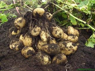 Міністр обіцяв підтримку картоплярам