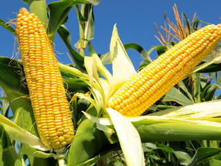 Україна встановить черговий рекорд із виробництва кукурудзи