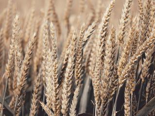 В Україні зменшили прогноз на майбутній урожай