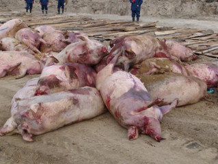 Ніна Костенко стверджує, що в Кам'янці приховують чуму свиней