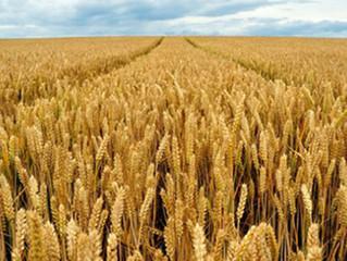 Українська пшениця зростатиме в ціні через політику Росії