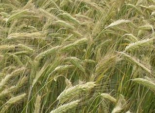 В Україні не хочуть сіяти жито
