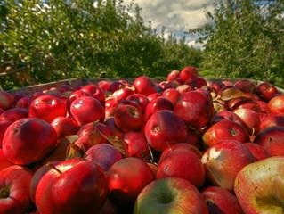 Яблуко подешевшає з наступного тижня