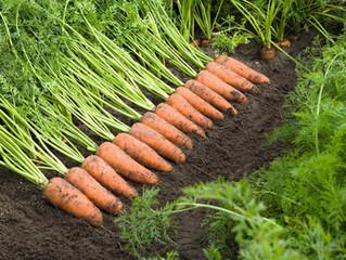 Морква подорожчала на 20%