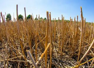 На Черкащині через посуху не посіяли озимину