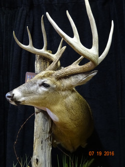 Ohio Whitetail deer