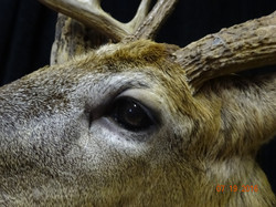 Whitetail eye detail