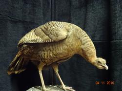 Ohio Hen turkey