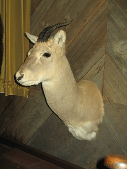Asian antelope