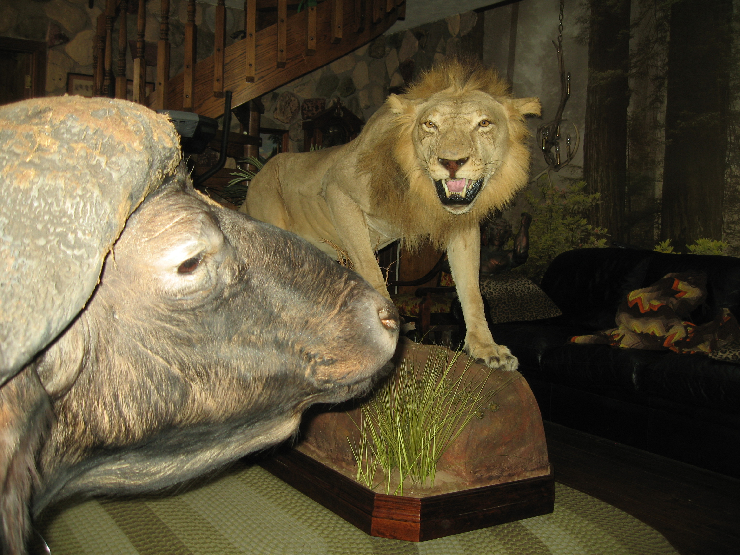 African Lion and Cape Buffalo