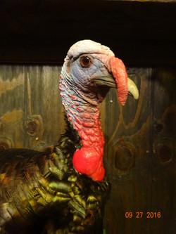 Wild turkey close up head