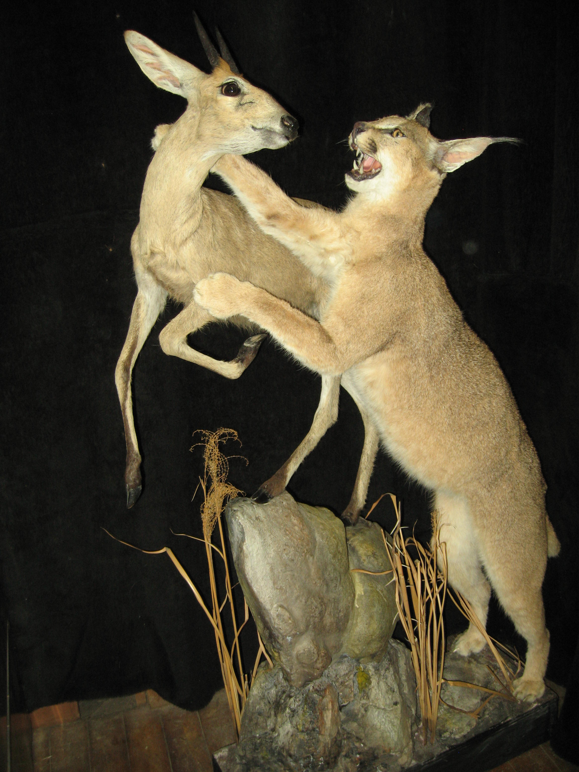 Caracal attacking Duiker