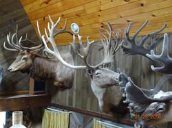 Elk  caribou