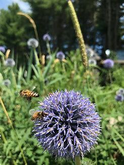 honeybee_globethisle.jpg