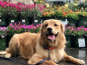 Khloe | 7 months old | Golden Retriever | Alhambra, California | In Training