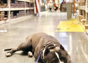 Apache | 11 month old | PitBull | Norwalk, California | In Training