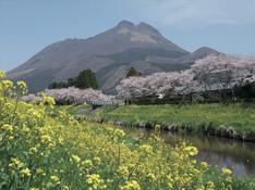 由布岳と菜の花と桜