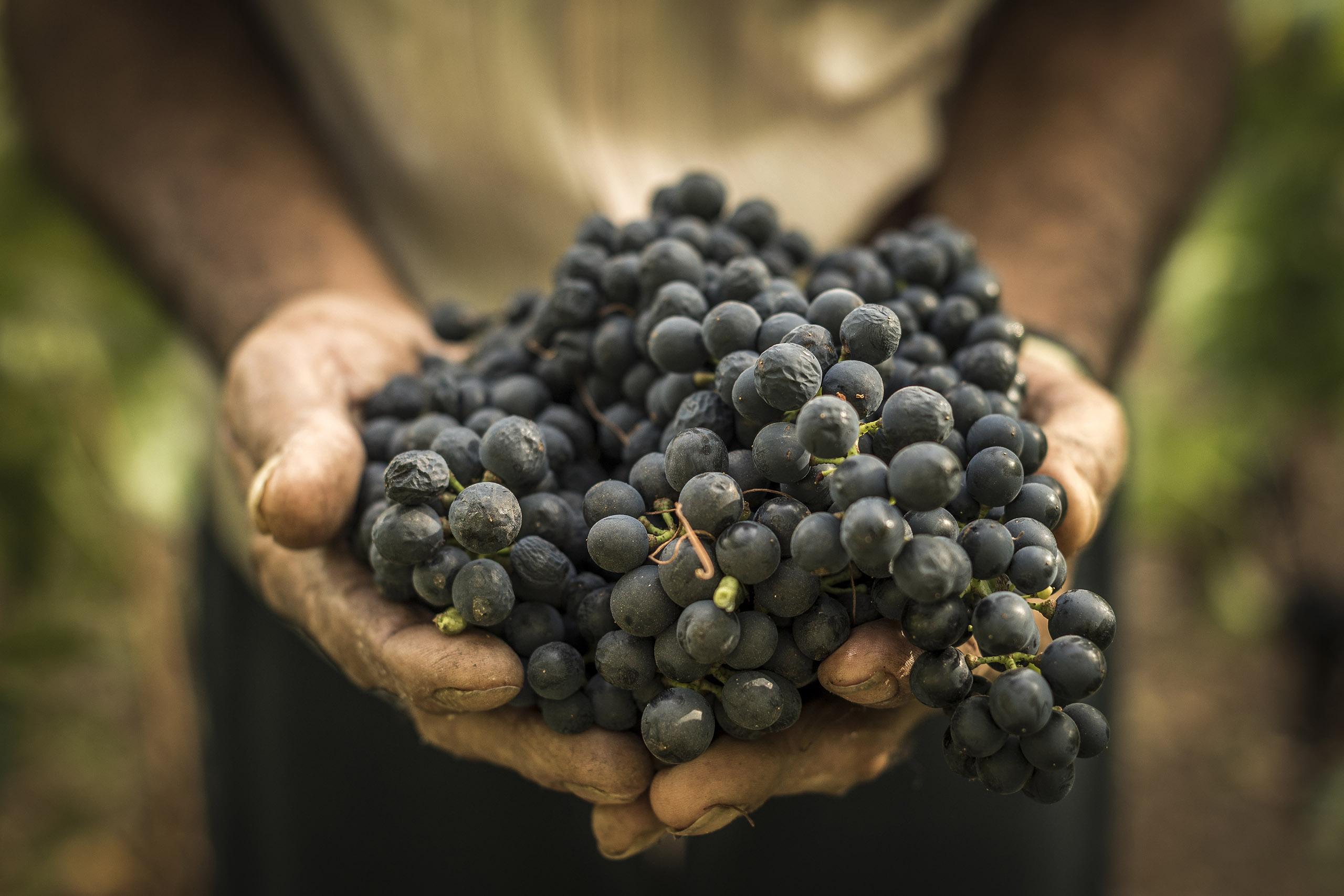 Pousada do Vinhedo - Colheita da Uva