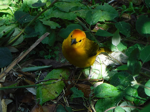 Taveta Golden Weaverbird